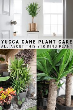 Learn all about how to care for a yucca plant, including tips for indoor and outdoor yucca care, as well as how to propagate this beautiful plant! Yucca Plant Indoor, Yucca Plant Care, House Plant Care, Indoor Plants, Indoor Gardening, Indoor Herbs, Indoor Outdoor, Fake Plants, Hanging Plants