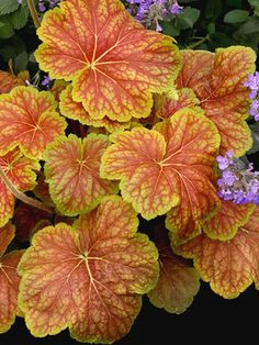 heucheras delta dawn great for sun or shade ground cover for east side of the house