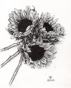 Black and white drawing of three sunflowers.