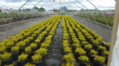 Gold Thread cypress for auction by Reimold Horticultural Auctioneers and nursery specialist.
