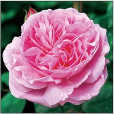 David Austin 'Marie Rose' Bloeit meerdere keren gedurende het seizoen. Hoogte 110-140 cm. Winterhard, zon, bladverliezend.