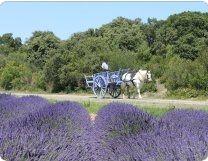Lavender in the Drôme Provençale