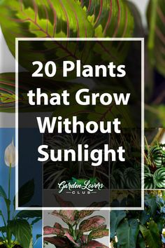Indoor Container Gardening 20 Plants that Grow Without Sunlight - Garden Lovers Club - Have an area in your home that lacks sunlight? Check out our guide on 20 plants that grow without sunlight. Indoor Plants Low Light, Outdoor Plants, Outdoor Gardens, Indoor Shade Plants, Shade Garden Plants, Indoor Flowers, Hanging Plants, Outdoor Spaces, Inside Plants