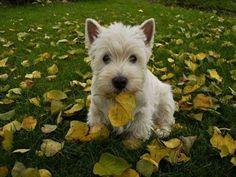 Na mein goldiger süßer Wauzi , was bringst du mir an? Ach so, bunte Herbstblätter  sollst du sammeln. Fein fein fein ..., die ersten hast du schon!