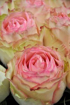 esperance rose favorite flowers pinterest wedding