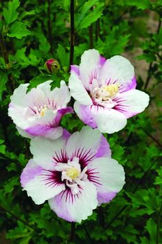 *FIJI HIBISCUS ~ Hibiscus syriacus 'Minspot' Well grown plants flower from spring to late summer.