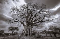 A baobab tree (Adansonia digitata) in Tarangire National Park, Tanzania.  markfisher.photo
