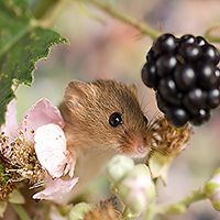 wood mice images - Google Search