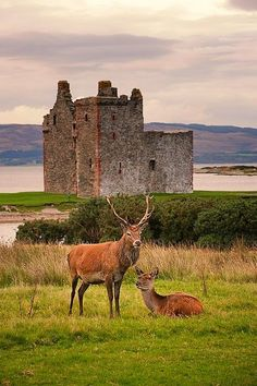 Red Deer in Lochranza, Isle of Arran Scotland