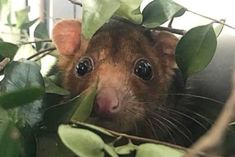 Possum hitchhikes 100 kilometres from city home in spare tyre on the back of a ute - ABC News Brisbane Cbd, Australian Animals, Human Development, Park Hotel, Sunshine Coast, Abc News, Weekend Is Over, Hanging Out