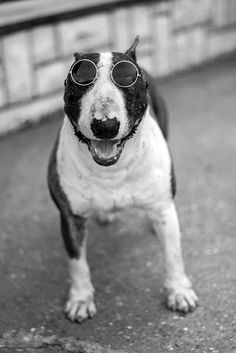C'mon....Right...I look like John Lennon....#Bull #Terrier