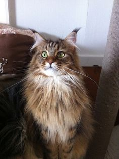 Coco - Black Tabby Maine Coon | Flickr - Photo Sharing! http://www.mainecoonguide.com/male-vs-female-maine-coons/