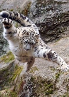 Told you I found have gone for Olympic gymnastics - tigres - Animals Nature Animals, Animals And Pets, Funny Animals, Cute Animals, Big Cats, Cool Cats, Cats And Kittens, Mundo Animal, My Animal