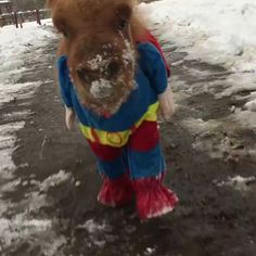 Because who doesn't want to see a miniature pony in a Superman outfit? - GIF on Imgur