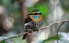 O martim-pescador de madeira manchado (Actenoides lindsayi) é uma espécie do pássaro na família Alcedinidae. É endêmico às Filipinas. O seu hábitat natural é florestas de planície úmidas subtropicais ou tropicais.