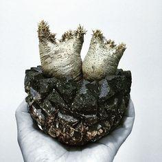 "WEBSTA @ 96magnon - TOKY×Invisible ink. Rock Heavy Pot S ""Flake""×Pachypodium densiflorum var. brevicalyx"