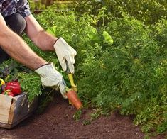 Iris - Bulbi - Come coltivare l'iris 🌹 ❉ღϠ❋花❋₡ღ✻↞❁✦彡●⊱❊⊰✦❁ ڿڰۣ❁ ℓα-ℓα-ℓα вσηηє νιє ♡༺✿༻♡·✳︎· 真❀‿ ❀ ·✳︎·☘‿MO Apr ✨ gυяυ ✤ॐ ✧⚜✧🌻🦁🐾🌻 ❦♥⭐♢∘❃♦♡❊ нανє α ηι¢є ∂αу ❊ღ༺✿༻✨♥♫ ~*~ 💐🌺💐♪♕✫❁✦⊱❊⊰●彡✦❁↠ 🌹 Colorful Vegetables, Growing Vegetables, Veggies, Zantedeschia Aethiopica, Vegetable Garden Tips, Growing Greens, How To Make Pesto, Living On A Budget, Simple Living
