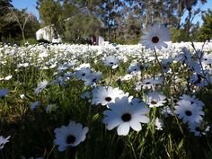 White daisies in front of Camphill chapel