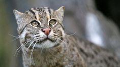 Animal en peligro de extincion. El gato pescador de la isla de Java