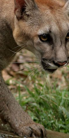 Cougar! And I cant go for a run right now because there's one right by our house :/