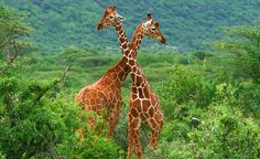 Though Kenya isn't as big of a country as, say, China, you will still need to organize multiple flights to see animals like the reticulated giraffes in the Samburu Game Reserve.  (Anna Omelchenko / Dreamstime.com) From: Where You Shouldn't Go Alone