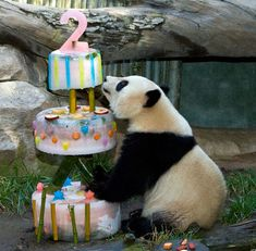 A panda celebrating his/her's second birthday.