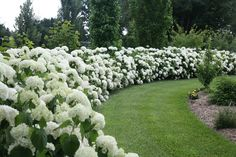 Incredible beauty when used to form a hedge or privacy wall--Incrediball hydrangea. #ProvenWinners