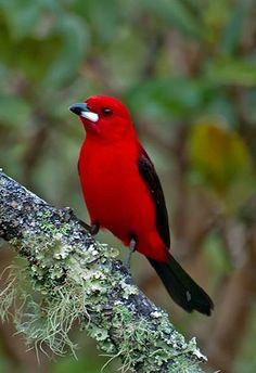 Blood tiê Endemic species of Brazil. Bird symbol of the Atlantic Forest and Rare Birds, Birds 2, Exotic Birds, Colorful Birds, Exotic Animals, Pretty Birds, Beautiful Birds, Animals Beautiful, Passaro Curio