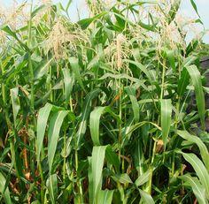 Corn Planting Chart | Corn Plant