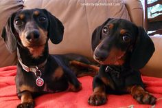 Me and my bro, Oakley. Come visit us on FB: www.facebook.com/crusoedachshund