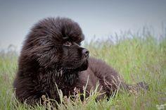 Am Doolittlehof - Yara Pause, Labrador Retriever, Dogs, Animals, Dog Show, Toller Dog, Native Americans, Labrador Retrievers, Animales