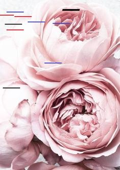 Pfingstrosen PRINT: Blush Pink Flower Foto Poster - # Best Picture For Flowers Wallpaper black For Your Taste You are looking for something, and it is goin Blush Peonies, Blush Flowers, Peony Flower, Pink Roses, Beautiful Flowers, Peonies Bouquet, Tea Roses, Floral Flowers, Crown Flower