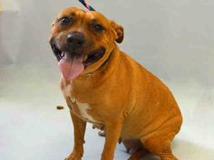 BUTTERSCOTCH – SAFE ...A1073128  FEMALE, BROWN, PIT BULL / LABRADOR RETR, 4 yrs OWNER SUR – EVALUATE, NO HOLD Reason LLORDPRIVA Intake condition EXAM REQ Intake Date 05/10/2016, From NY 10035, DueOut Date 05/10/2016,