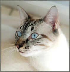 Lynx point Siamese. This looks like Baby, a rescue kitten, who I think may be a purebred. She is a beauty and talks all the time!