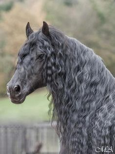Beautiful grey horse with a curly mane and tail.