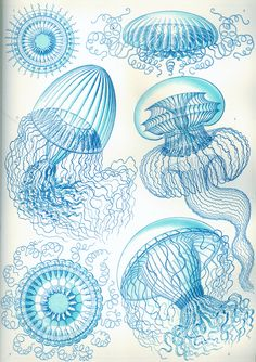E. Haeckel illustration:  Leptomedusae