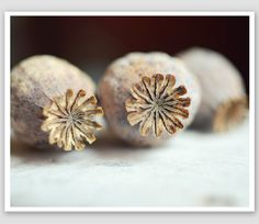Seed pod photograph - poppy pods nature art dark brown white natural neutral naturalist photography 8x10 print - Three Pods on Etsy, 23,22 €