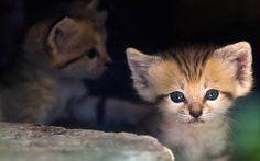 So cute! A sand kitten sits at her enclosure at the Ramat Gan Safari Park near Tel Aviv. Four sand kittens were born three weeks ago at the safari park. Sand cats are found in the wild in the deserts of northern Africa and southwest and central Asia.