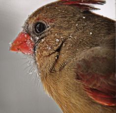 female cardinal - lovely olive colored girl