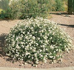 Flattop Buckwheat BUSH/ Eriogonum fasciculatum v. polifolium/ Mature Size: 1' h x 2' w/ Flower Color: Pale pink to white/ Sun: full sun/ Flower Season: spring/ Water: very low/ Growth Rate: fast/ Form: rounded/ Evergreen? evergreen/ Hardiness: 11-20° F/ Litter: low/ Attracts Wildlife: birds/ Other Features: Suited to small spaces.