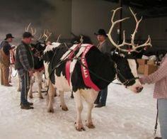 working reindeer