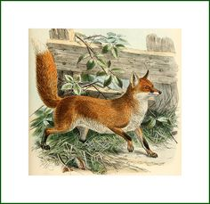 """The Common Fox (Canis vulpes) from """"Dogs, jackals, wolves and foxes"""" London R.Porter 1890 via Biodiversity Heritage LibraryThe Common Fox (Canis vulpes) from """"Dogs, jackals, wolves and foxes"""" London R.Porter 1890 via Biodiversity Heritage Library Woodland Creatures, Woodland Animals, Art Fox, Fuchs Illustration, Vintage Fox, Fantastic Mr Fox, Little Fox, Gravure, Natural History"""