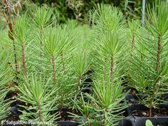 Pinos en bandeja forestal. http://www.plantamus.es/venta-de-arboles-plantacion-plantones