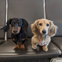 """""""Sorry, no new episode today because Daphne and I are ON A JETPLANE to Florida, her first-ever flight! Wish her luck! Blue Dapple Dachshund, Black Dachshund, Dachshund Puppies For Sale, Long Haired Dachshund, Piebald Dachshund, Cream Dachshund, Dachshund Quotes, Funny Dachshund, Dachshund Tattoo"""