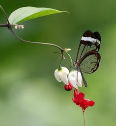 Glasswing butterfly on a bleeding heart vine plant. ( I have this plant from the Biltmore Nursery )