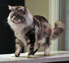 Maine Coon Blotched Tabby