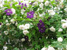 Sombreuil and clematis Etoile Violette