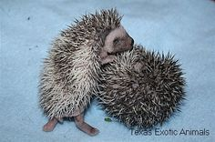 Some of our precious baby hedgehogs born at Texas Exotic Animals. To see available babies go to http://texasexoticanimals.com