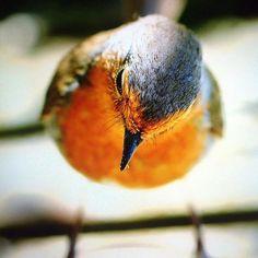 My best #friend Louie #robin #birds #birdphotography #wildlife #wildlifephotography #nature #naturephotography