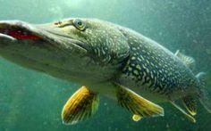 - Caccia e Pesca - Conosciamo meglio il luccio, il predone dei laghi (Luccio)